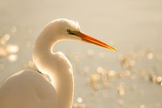 Great Egret with wonderful backlighting - Photo by Lynn McClure - Friends of the Ridgefield National Wildlife Refuge