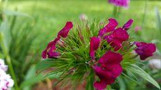 Sweet William blooms just opening. April 20, 2015 Loranger LA