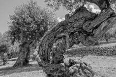 El olivo de Robert Graves