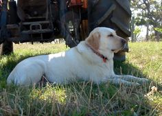 No winery is complete without the winery dog and here's ours. She grew up among the vines and visitors and everyone loved her. Tiny little 2 year old Verdelho vines in the background and a tractor with many thousands of hours on the clock next to them. #owningawinery #Verdelho #Labrador