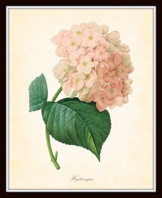 French Antique Hydrangea Paintings | Antique Hydrangea Redoute French Botanica  SOFT