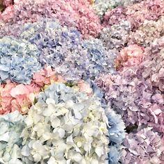 #hortenzia #hydrangea #laurawedding #lauravirág #lauravirag #love #flower #flowers