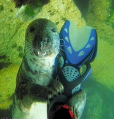 DOES MY FLIPPER LOOK BIG IN THIS? John Horner, 63, from Hampshire: 'I was scuba diving off Lundy Island when I felt a tug on my fin. I rolled around and snapped this seal with my Canon Ixus underwater camera.'