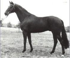 Matcho, semental angloárabe que mejoró las razas de caballos de sangre caliente alemanes