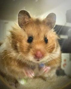 Cutest hamster EVER!  #duckcitydiaries