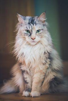 Aspenwood: Rank: StreamClan Deputy Alive or Dead: Dead fluffy dilute calico she-cat, jade green eyes