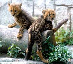 El porqué de los rarísimos guepardos con rayas  Dos genes que comparten los gatos y los guepardos regulan los patrones de color de su piel.