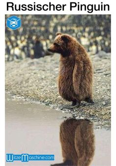 Russischer Pinguin -...