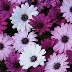 (Osteospermum) Single daisy flowers in shades of white, lavender, and purple. Blue centers accented by bright orange stamens. Sturdy, well-branched plants are loaded with blooms. Purple Wallpaper, Flower Wallpaper, Trendy Wallpaper, Nature Wallpaper, Amazing Flowers, Beautiful Flowers, Simple Flowers, Colorful Flowers, Flower Aesthetic
