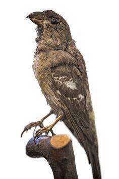 Witbandkruisbek, afgeschoten in  1889 in Bokrijk en opgezet. Uit de verzameling opgezet gevederte van Dokter Bamps. Museum voor natuurwetenschappen te Brussel