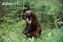 Wolverine sitting in woodland
