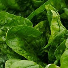 Spinacia seedsMaturity: 50 days This quick growing heirloom spinach was introduced by the D. Landreth Seed Company in 1826 and is still the favorite today. Burpee Seeds, Burpees, Lettuce, Spinach, Vegetables, Green, Plants, Veggie Food, Flora