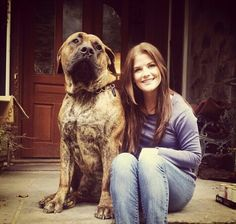 The Boerboel is a large, mastiff dog breed from South Africa, bred for the purpose of guarding the homestead.