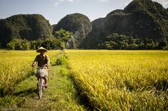 Cycling between the yellow rice paddy fields in Ninh Binh
