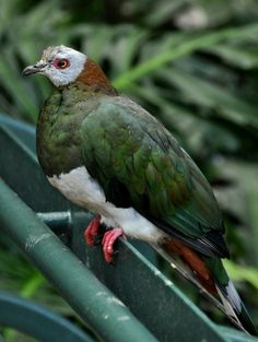 White-bellied Imperial Pigeon(Ducula forsteni)