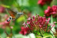 the hummingbird moth....I cannot tell you how many times I have been tricked by this thing