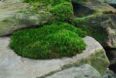 Moss acidity