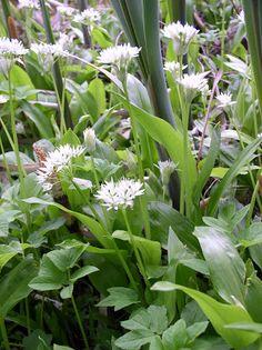 """Erdőkóstoló: Medvehagyma """"nyárira"""" és télire.. Edible Plants"""