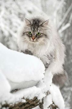 Fluffy Curious Cat In The Winter Park Stock Image - Image of feline, winter: 12836789 Tier Fotos, Maine Coon, Beautiful Cats, Pure Products, Winter Mode, Winter Park, Winter Snow, Forest Cat, Memories