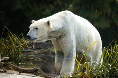 Scientists believe that the polar bear evolved from a common brown bear ancestor about 200,000 years ago.