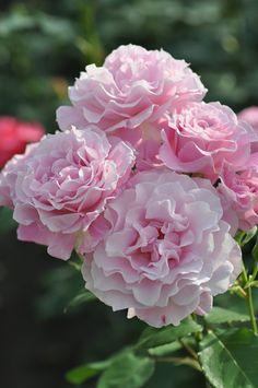 Hybrid Tea Rose: Rosa Silent Love 'サイレントラブ (Japan, before 2009)