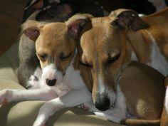 italian greyhound | ... Italian Greyhound Breeder | AKC Italian Registered Italian Greyhounds
