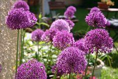 Gartentipps: Allium aflatunense 'Purple Sensation' - Purpurviolette Zierlauch-Sensation im Staudenbeet