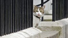 The new PM's first job: Impress the cat - BBC News Battersea Dogs, Fawlty Towers, Mrs May, Gordon Brown, Tony Blair, Uk Politics, Put On Weight, Number 10, David Cameron