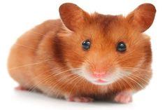 Syrian Hamster Good Information For Hamster Lovers