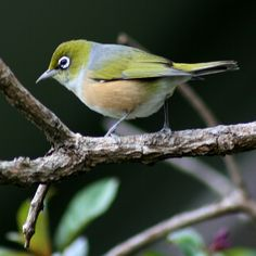New Zealand Silvereye (Maori name #Tauhou) sometimes called Waxeye. This very small bird was first recorded in New Zealand in 1832, but arrived in numbers in the 1850s. As an apparent self introduced bird, presumably swept eastwards in a storm, they have the status of being a NZ native bird.  They, along with other birds love to feed on the honey water I put out for them. #nofilter #birds #nzbird #nz_birds #silvereye #waxeye #nature #naturelovers #bestnatureshots #wildlife