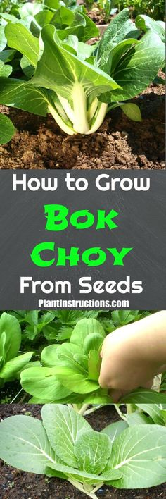 How to Grow Bok Choy