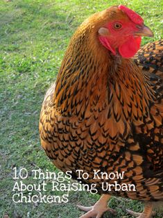 10 Things to Know About Raising Urban Chickens