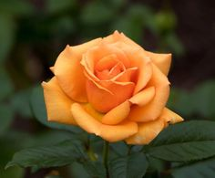 orange roses are my favourite. just one will do nicely thank you.