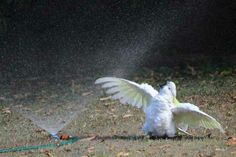 Cockatoo. #Australia. This JOYOUS Scene! | 19 Everyday Sights In Australian Backyards