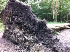 Root system exposed by this fallen tree in Heath Park, Cardiff. Spreading the roots over a large area helps the three to gain better balance, not very effective in this case ;-), and to maximise the amount of water absorbed from the soil.