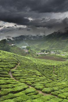 Malaysia. Cameron Highlands, tea plantation
