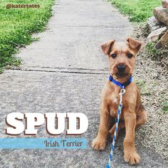 """Spud says, """"But really mom, you should carry me to the park."""" #instagram #dogs"""