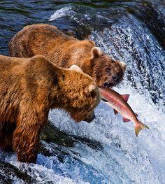 ~Catch me if you can~  Big adult bear trying to catch salmon at Brooks falls,Katmai National Park, Alaska