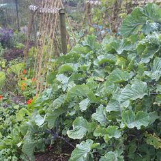 We raise and sell perennial Daubenton's kale and Taunton Deane kale plants. Learn how to grow and propagate them yourself, ideal for permaculture projects.