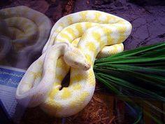 Albino Snake #animals #albino