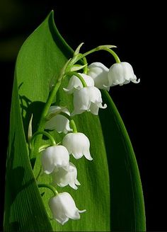 Unbelievable beauty & delicacy - Lily of the Valley Valley Flowers, May Flowers, Spring Flowers, White Flowers, Beautiful Flowers, Lily Of The Valley, Calla Lily, Flower Art, Bouquet
