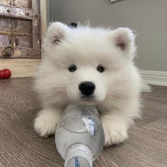21 Incredible Pics with Samoyed Dogs Which Will Make You Smile! Cute Baby Dogs, Cute Dogs And Puppies, Doggies, Cute White Dogs, Fluffy Dogs, Fluffy Animals, Cute Little Animals, Cute Funny Animals, Samoyed Dogs