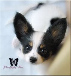 papillon puppy from Japan...I thought my Harley had big ears! wow....