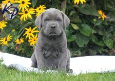 Buster – Cane Corso Puppy www.keystonepuppies.com #keystonepuppies #canecorso