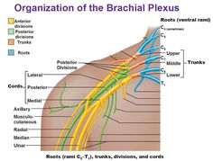 roots trunks divisions cords organization of brachial plexus