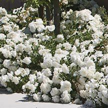 White Meidiland Groundcover Rose  Rosa Meidiland.  Non-stop blooms from late spring almost until the snow flies. Pure white, double, 4 inch blooms cover plants 18 to 24 inches tall. Horizontal branches spread up to 4 to 6 feet, becoming a drift of white. Glossy, dark green foliage hides the canes.