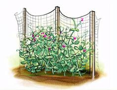 Growing Peas the Right Way — From Sugar Snap to Homesteader