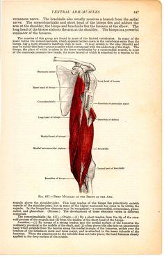 Antico libro medico 1933 illustrazione, muscoli del braccio ventrale