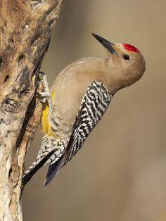 Melanerpes uropygialis - dzięciur kaktusowy - Gila Woodpecker