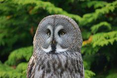 Great Grey Owl, Zoo, England